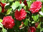 Превью розы (700x525, 318Kb)