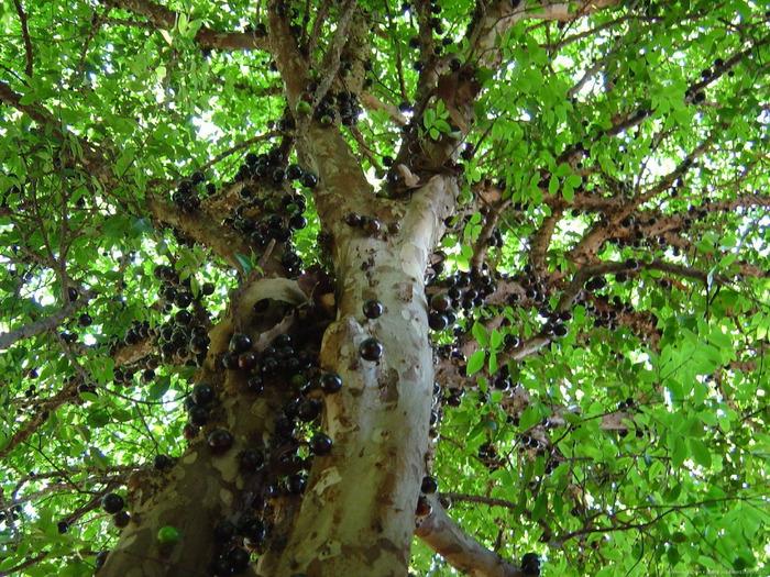виноградное дерево фото