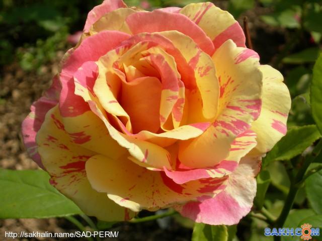 Шарль де голь роза