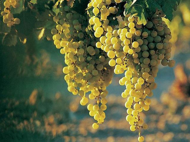 Виноград/1324116666_vinograd (640x480, 78Kb)