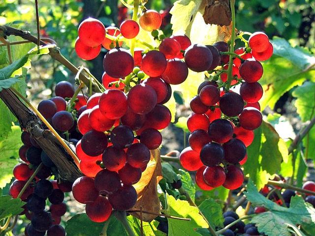 Виноград/1324117125_vinograd (640x480, 101Kb)