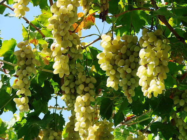 Виноград дамский пальчик