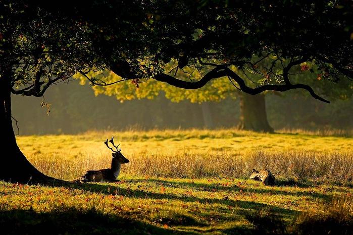 3 олень в красочном лесу (700x466, 149Kb)