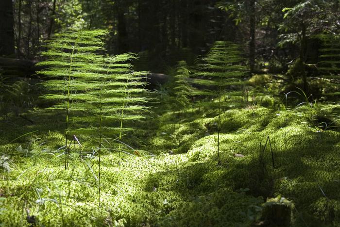 5 лесной хвощ (700x468, 418Kb)
