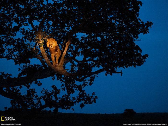 лев на дереве (700x525, 211Kb)