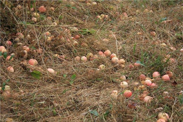 яблоки (640x426, 115Kb)