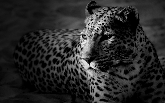 ___leopard_morda_cherno-belye-oboi_axed_ru (700x437, 149Kb)