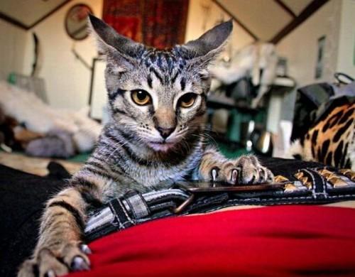 01 gif боевой кот (500x390, 58Kb)