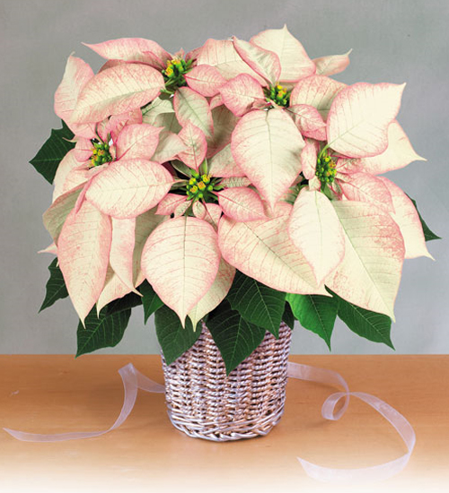 christmas-poinsettia-misc1 (500x550, 214Kb)