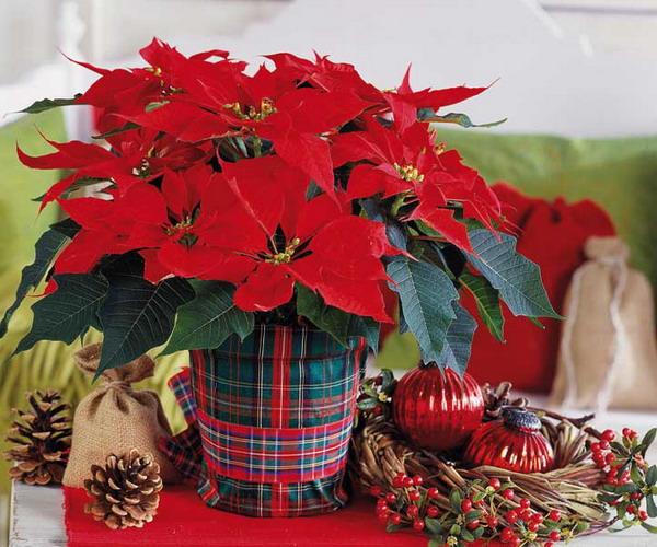 Фото цветок рождественский