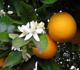 полезные свойства Апельсин (330x290, 20Kb)