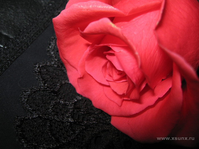 rose_rose (700x525, 103Kb)