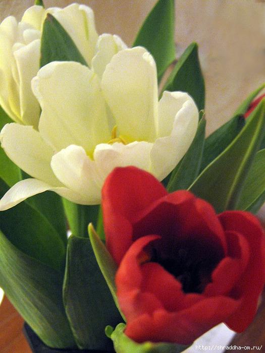тюльпаны 2 (525x700, 277Kb)