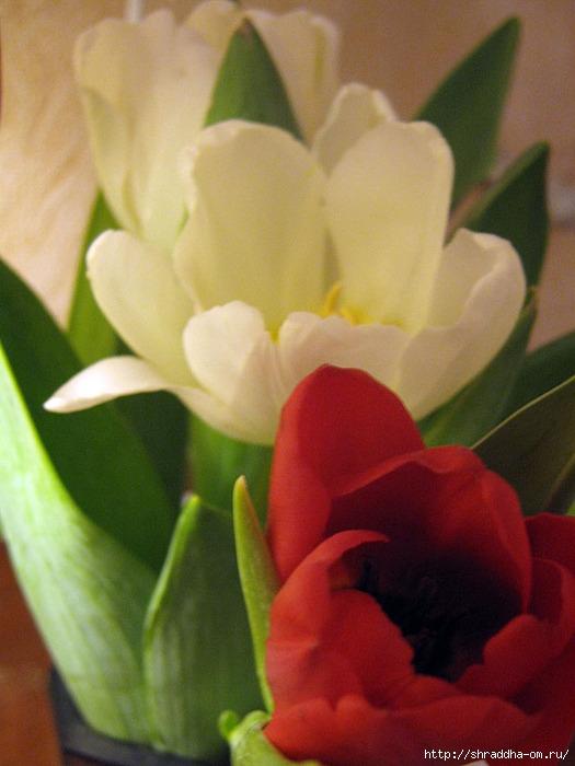 тюльпаны 3 (525x700, 215Kb)