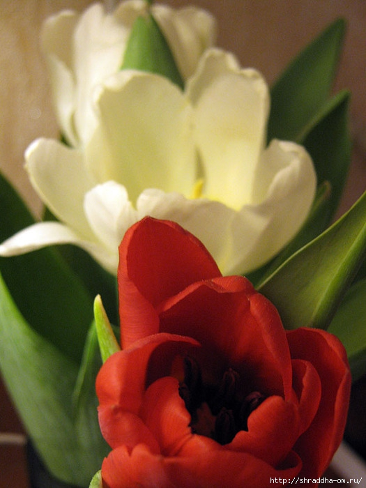 тюльпаны 4 (525x700, 203Kb)