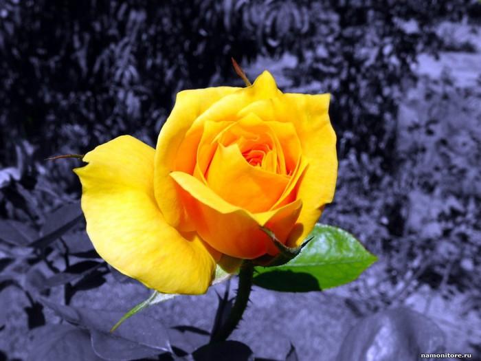 Песню Желтые Розы
