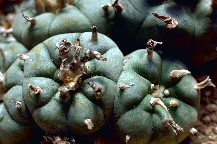4080226_800pxPeyote_Cactus (700x464, 80Kb)
