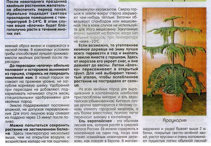 О хвойных растениях,выращенных в горшках 81586971_large_elochkavgorshke2