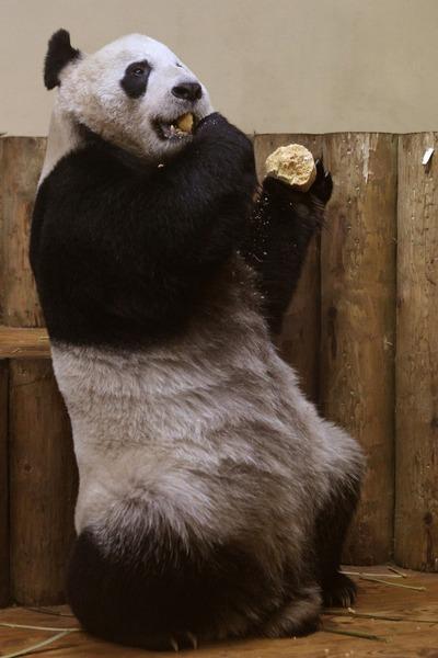 panda sweetie 2 (400x600, 60Kb)