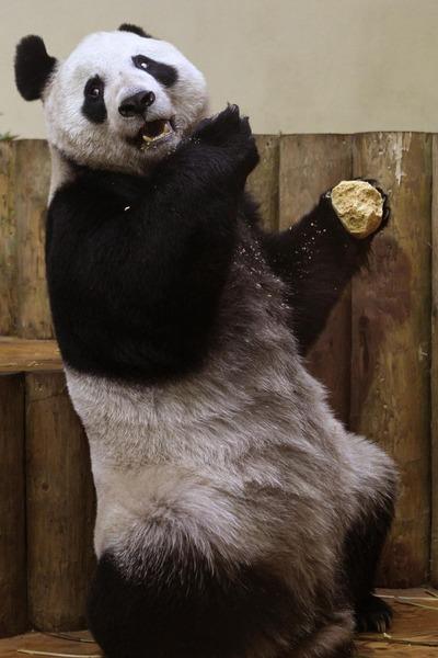 panda sweetie 6 (400x600, 64Kb)