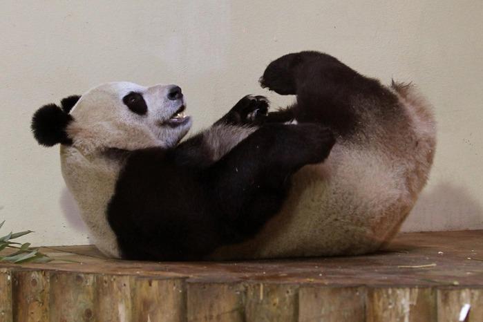 panda sweetie 8 (700x466, 69Kb)