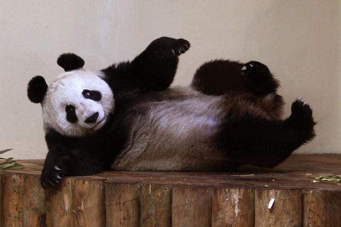 panda sweetie 10 (700x466, 73Kb)