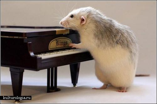 3925073_rats_music10 (500x332, 33Kb)