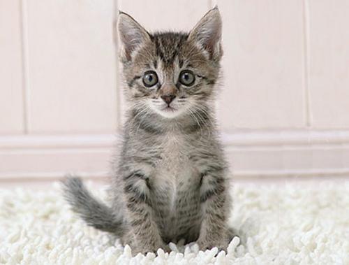 серый кот 2012