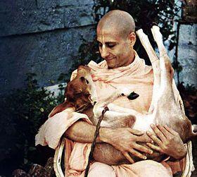 280px-Radhanath_Swami_holding_a_small_calf_ (280x251, 24Kb)