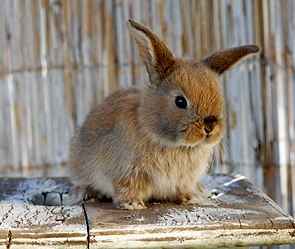 Кролик (295x249, 87Kb)