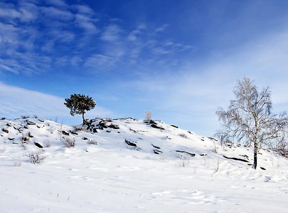 Pine_winter (580x429, 33Kb)