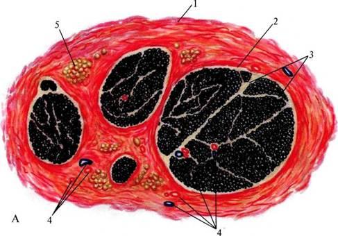 В периферических нервах нервные волокна группируются в пучки.  В пучках они отделяются друг от друга прослойкой...