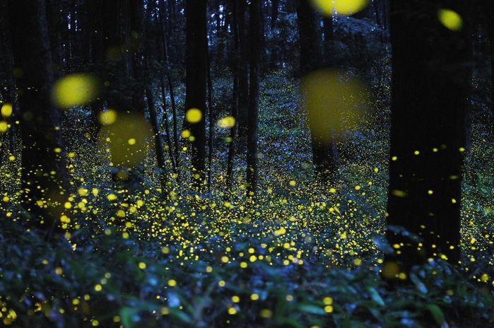 1325840651_1325778367_fireflies7 (700x464, 81Kb)