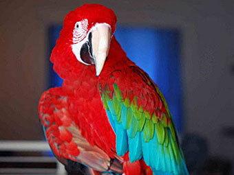 Попугай - сквернослов (340x255, 21Kb)