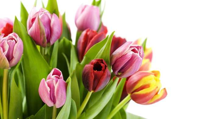 Pink And Red Tulip Flowers Wallpapers All Flowers Send Flowers Comments Send Online Flowers
