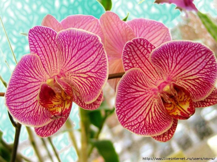 Картинки цветов архидей 7