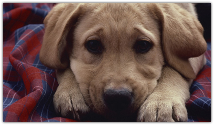 собака (700x408, 379Kb)