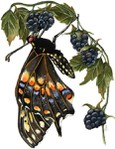 Превью Butterfly on Berry-1 (463x600, 74Kb)