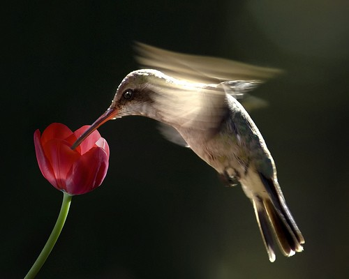 Fast-food-by-risquillo.-flowers--birds--keith's-pics--pics--kuЕџlar--first_large (500x400, 28Kb)