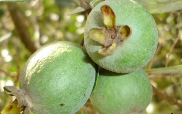 4276504_1258198128_fruit_feijoa_3_h_orig_1_ (599x375, 57Kb)