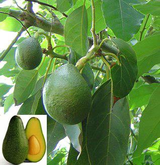авокадо (318x329, 122Kb)