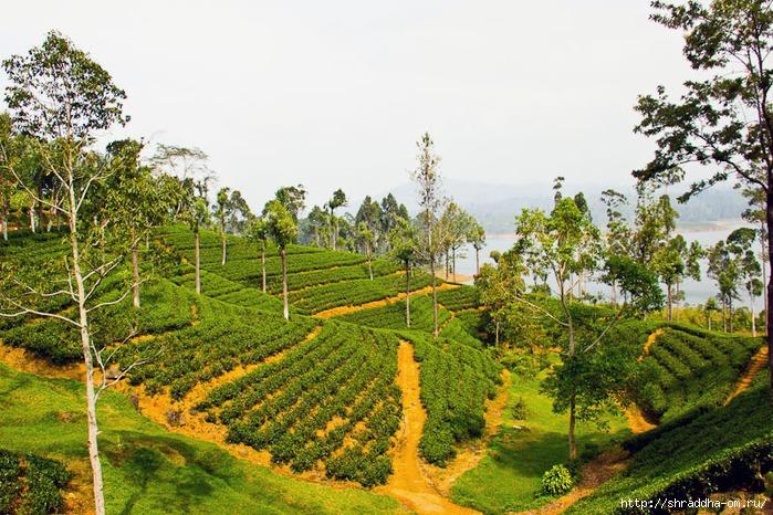 чайные поля Шри-Ланки, 1 (700x466, 326Kb)