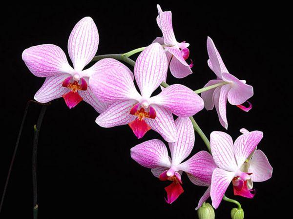 4360286_orhideya (600x450, 39Kb)