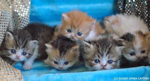 карликовые_кошки_породы_наполеон_фото_02 (500x271, 63Kb)