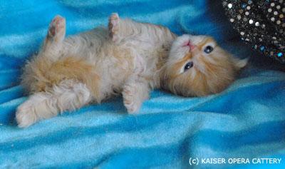 карликовые_кошки_породы_наполеон_фото_04 (400x237, 25Kb)