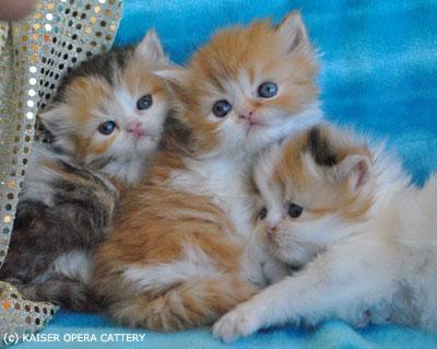 карликовые_кошки_породы_наполеон_фото_05 (400x319, 33Kb)