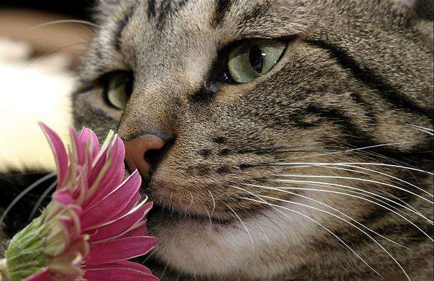 cat-grey-with-pink-flower (610x395, 69Kb)