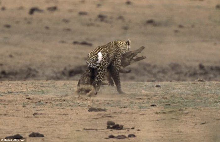 Гепард против крокодила 02 (700x452, 46Kb)