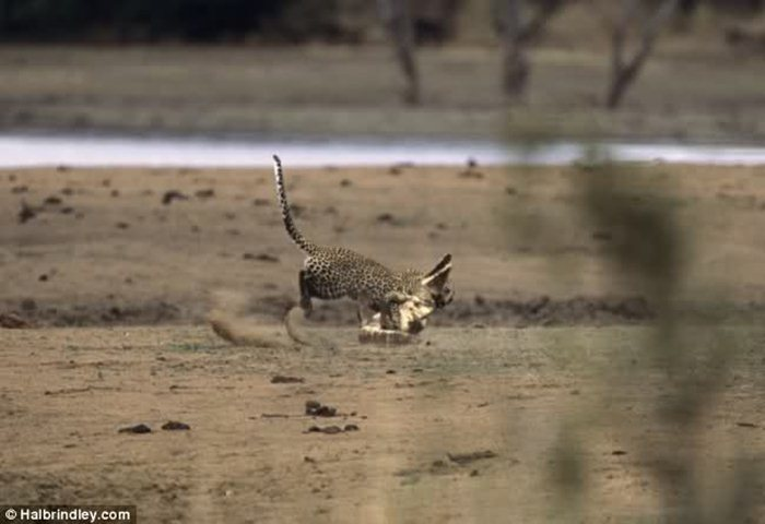 Гепард против крокодила 05 (700x480, 42Kb)