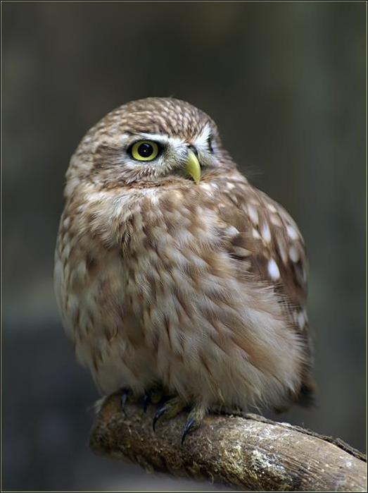 birds-32 (523x700, 40Kb)
